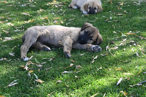 デリンクユの草むらで寝そべる子犬