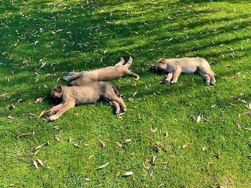 デリンクユの草むらで寝そべる子犬3頭
